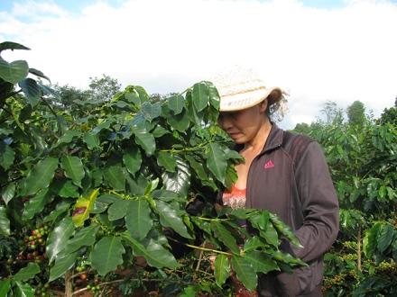 Cà phê Khe Sanh: Cải tạo vườn cà phê già cỗi