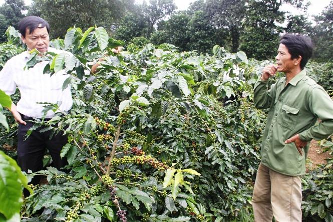 Quảng Trị: Người dân Hướng Hóa không mặn mà với cây cà phê