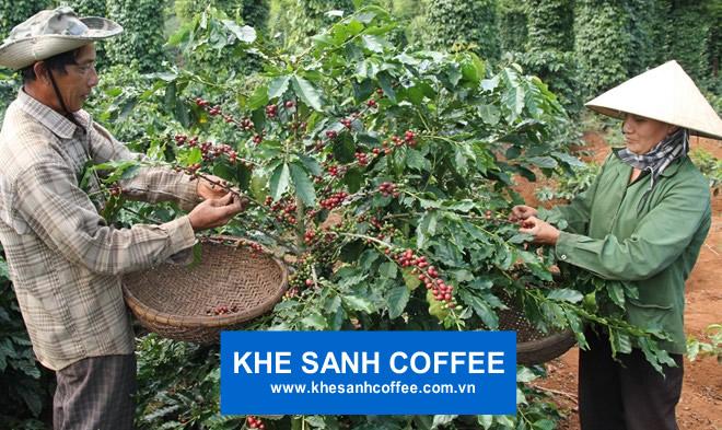 """Nông dân """"méo mặt"""", doanh nghiệp lao đao vì giá cà phê Khe Sanh xuống thấp"""