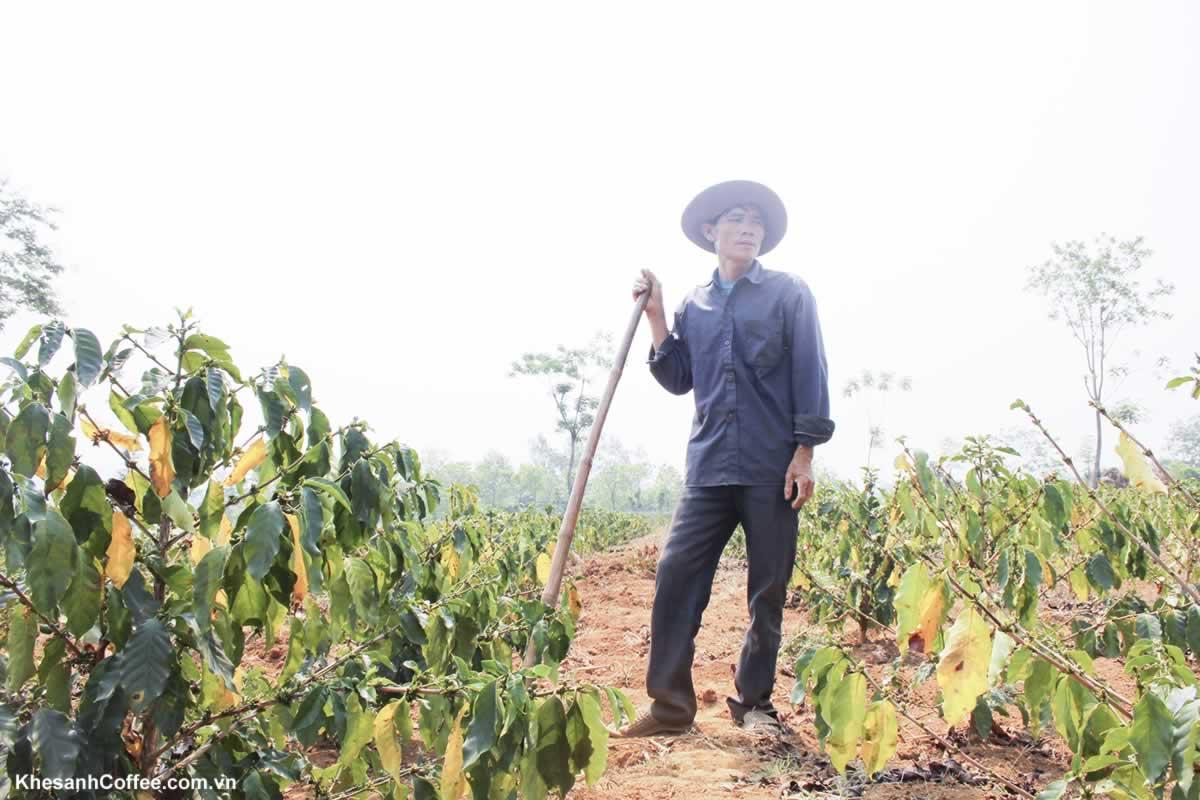 Những vấn đề thách thức đối với cây cà phê Hướng Hóa (Quảng Trị)