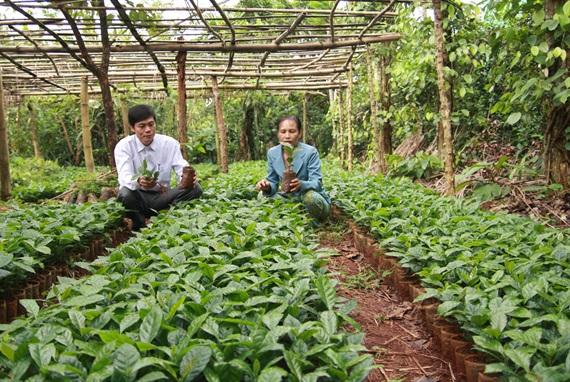 Cà phê chè Hướng hóa chính thức được bảo hộ thương hiệu 'cà phê Khe Sanh'